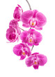Orchid flowers, isolated on white background