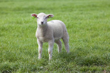 Lamb on the green field