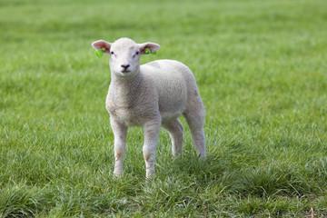 Lamb on the green field