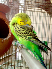 Sleeping budgie