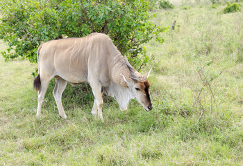 A beautiful Eland antelope grazing in the savannah