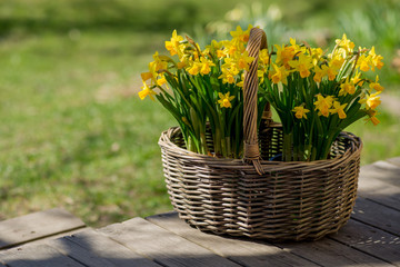 Narcissus bloom in basket on wooden terrace.
