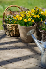 Narcissus bloom in flowerpot on wooden terrace next to galvanize