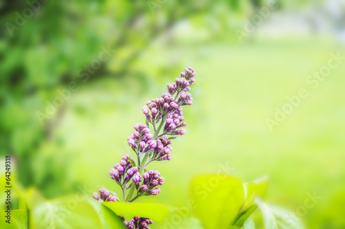 Lilac Photo on Green Blurred Background