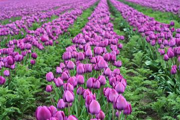 Pole fioletowych tulipanów