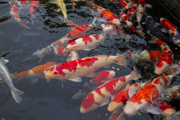 Fish Carp in the Pool