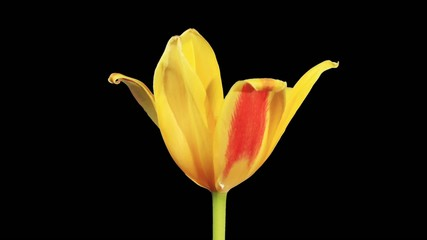 Yellow tulip bloom buds ALPHA matte, FULL HD