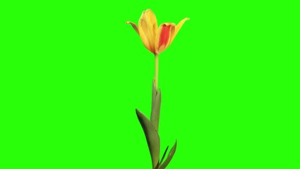Yellow tulip bloom buds green screen, FULL HD