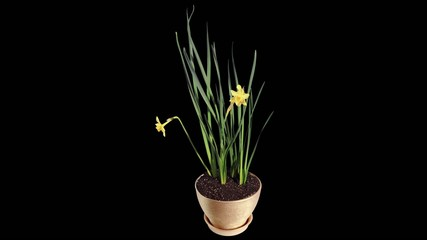 Yellow narcissus blossom buds ALPHA matte, FULL HD