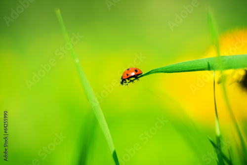 ladybug on a spring meadow