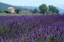 champs de lavande de Valensole Provence France de fleurs