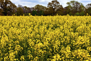 Rapeseed flowering plants in a field.