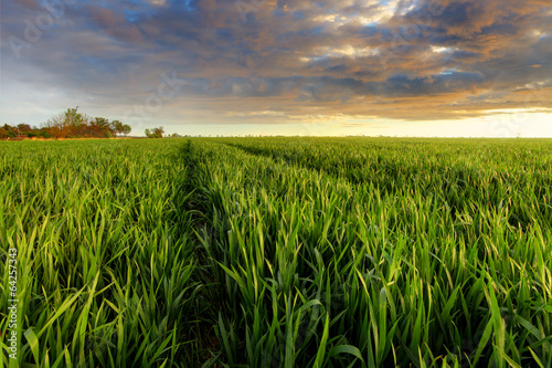 Green wheat field at sunset with sun - 64257343