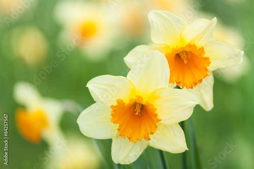 Aluminium Narcis Yellow daffodils
