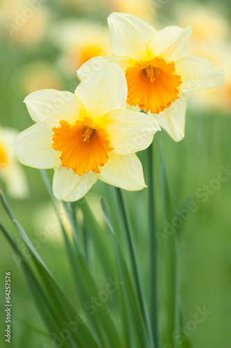 Canvas Narcis Yellow daffodils