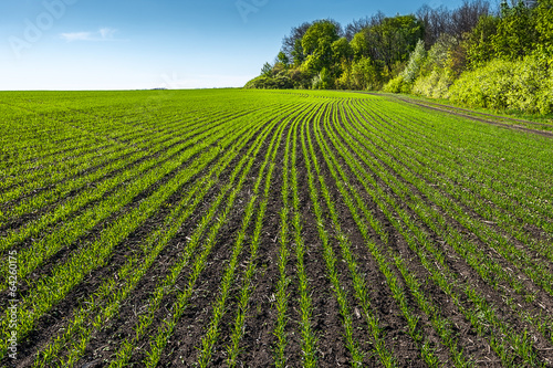 rows of young wheat field in sunny day - 64260175
