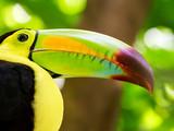 Portrait of Keel-billed Toucan bird - 64260303