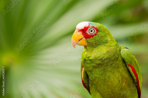 Tuinposter Papegaai Portrait of White-fronted Parrot