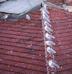Seagulls on roof