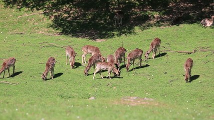 Fallow Deer hinds in harem during rut in autumn mountain forest
