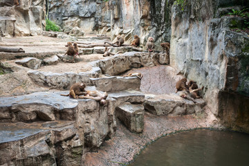 Hamadryas baboons at the Singapore Zoo