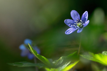 Blue springflower soaking sunlight