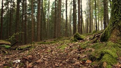 europäischer Wald - über Laub und Wurzeln - Mischwald