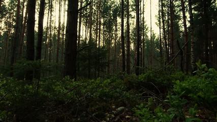 deutscher Nadelwald - slide durch das Unterholz