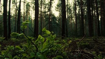 europäischer Nadelwald im Sonnenuntergang - slide