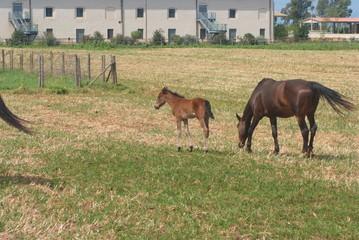 cavalli puledri al pascolo maremma toscana