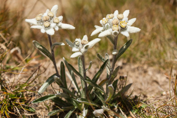 cluster of Edelweiss flowers