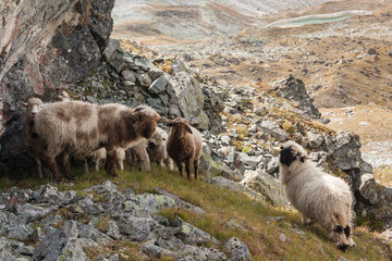 flock of sheep grazing on alpine pasture