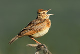 Fototapeta Rufous-naped lark (Mirafra africana) calling