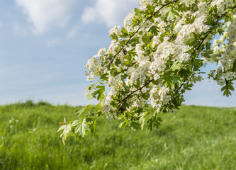 White flowering Hawthorn against a blue sky