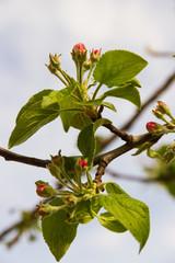 Brote de Flor del Manzano