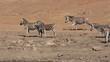 Plains zebras walking in a line, Pilanesberg National Park