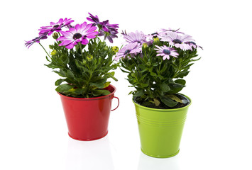 spanish daisy flowers in red and green bucket