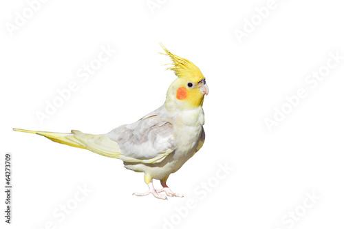 Tuinposter Papegaai Cockatiel