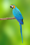 Blue and Gold Macaw aviary poster