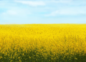 rape field background