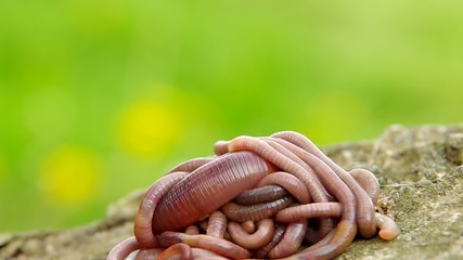 Earthworms on a wooden bark and green background