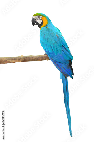 Poster Papegaai Blue and Gold Macaw aviary
