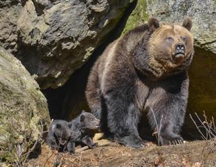 brown bear - female