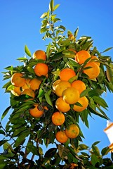 Ripe Seville oranges on tree, Seville © Arena Photo UK