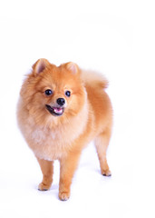 pomeranian dog isolated on white background