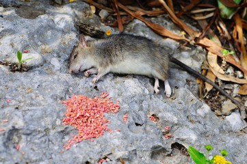Dead rat and poison, Spain © Arena Photo UK