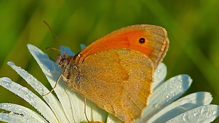 butterfly and camomile in morning dew