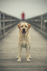 Labrador al faro - mare