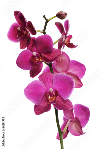 Poster Orchidee pink orchid
