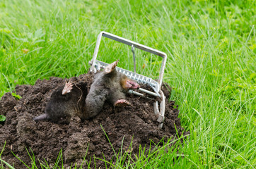Dead mole caught steel trap lie near mole hill